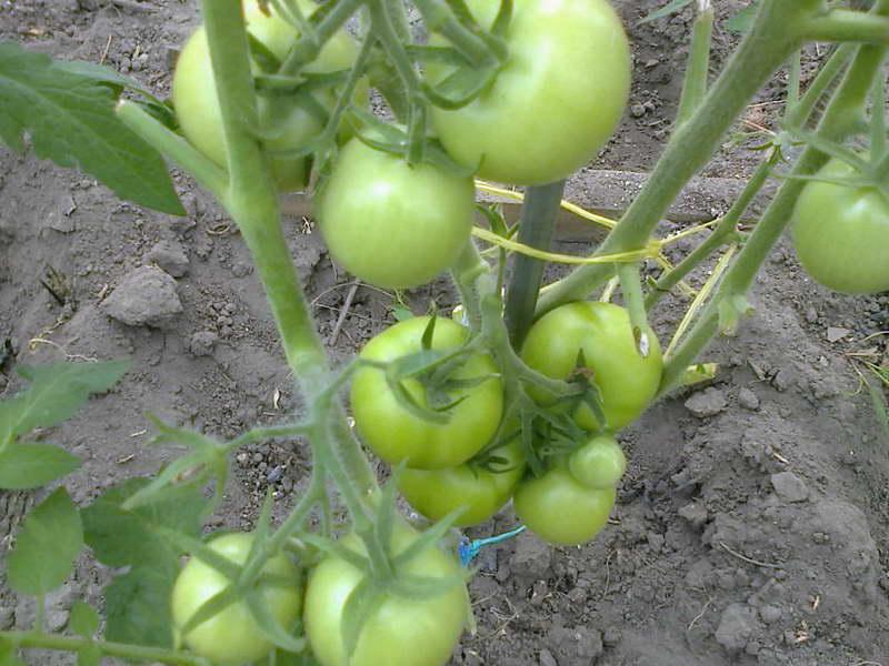 Денежный мешок томаты описание сорта фото