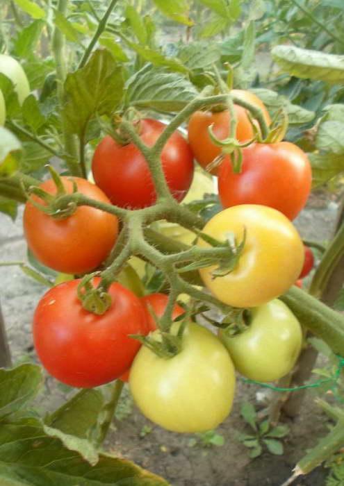 Денежный мешок томаты описание сорта