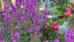 Дербенник посадка и уход фото цветов в саду