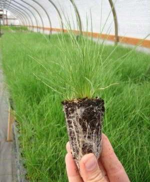 Дешампсия щучка дернистая из семян фото рассады