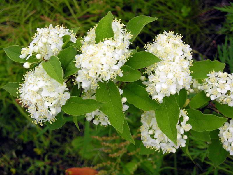 Дейция амурская или мелкоцветная Deutzia amurensis фото