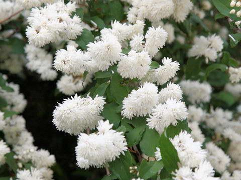 Дейция белейшая Deutzia Candidissima фото
