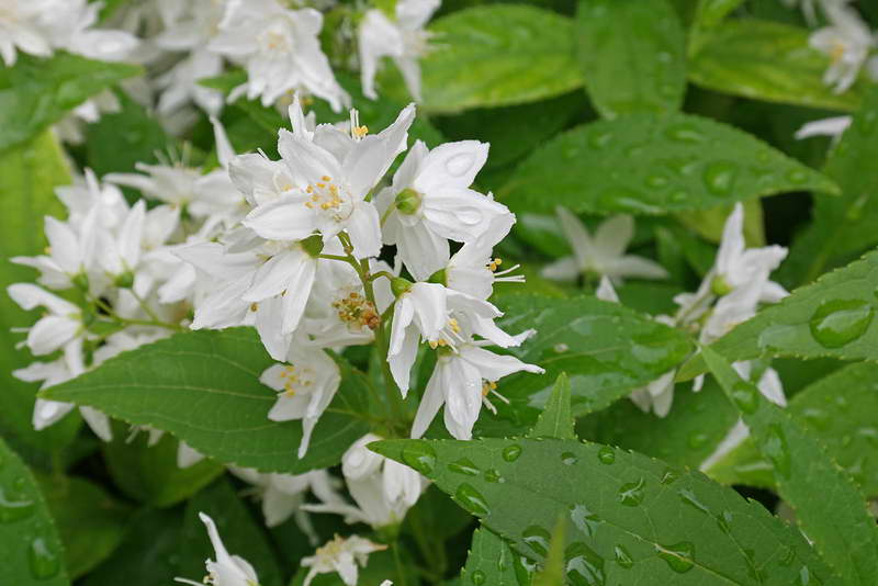 Дейция изящная Deutzia gracilis фото