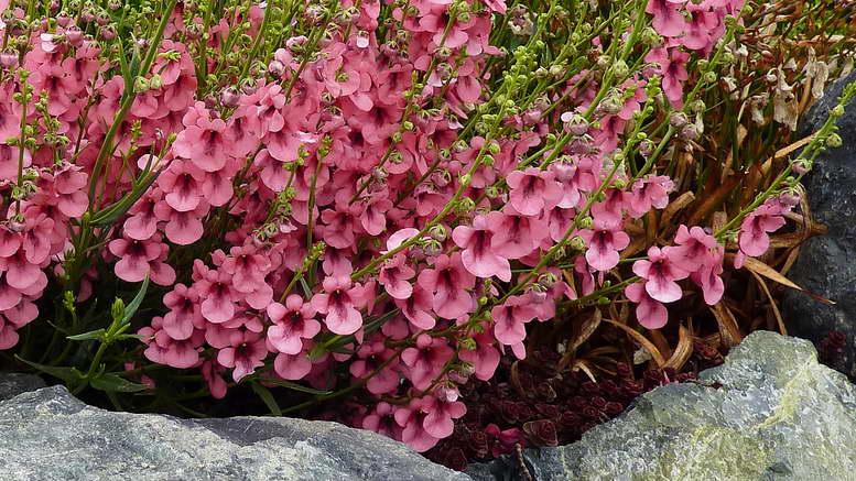 Диасция выращивание из семян фото цветов на клумбе