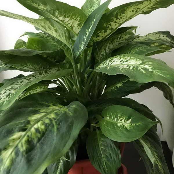 Диффенбахия прелестная или приятная Dieffenbachia amoena сорт 'Tropic Snow' фото