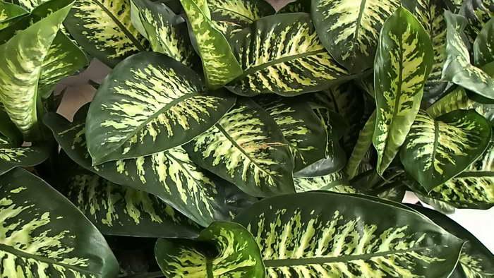 Диффенбахия Сегуина Dieffenbachia seguine сорт Tropic Snow фото