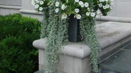 Дихондра серебристый водопад выращивание ампельной культуры из семян