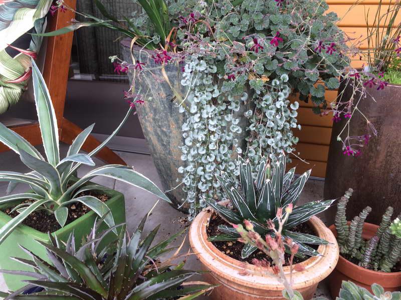 Дихондра серебристый водопад выращивание дома фото
