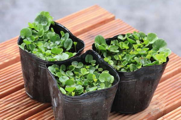 Дихондра выращивание из семян в домашних условиях фото