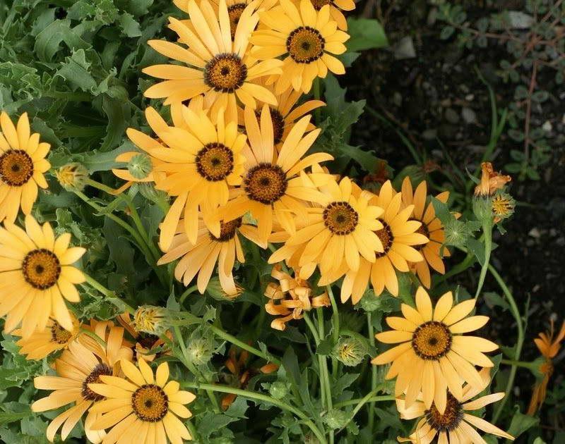 Диморфотека дождевая сорт Dimorphotheca pluvialis ´Tetra Sunshine Giants´ фото