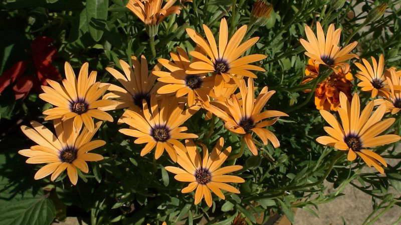 Диморфотека фото и выращивание в саду
