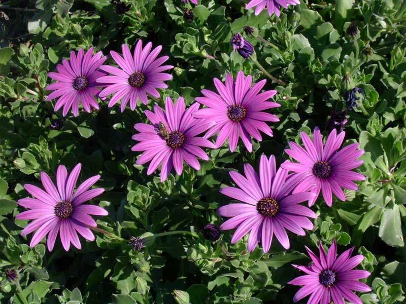 Диморфотека фото цветов в саду