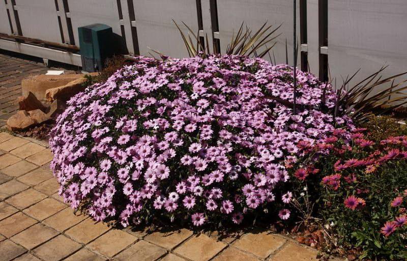 Диморфотека на клумбе фото цветов