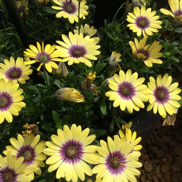Диморфотека выращивание из семян когда сажать фото цветов