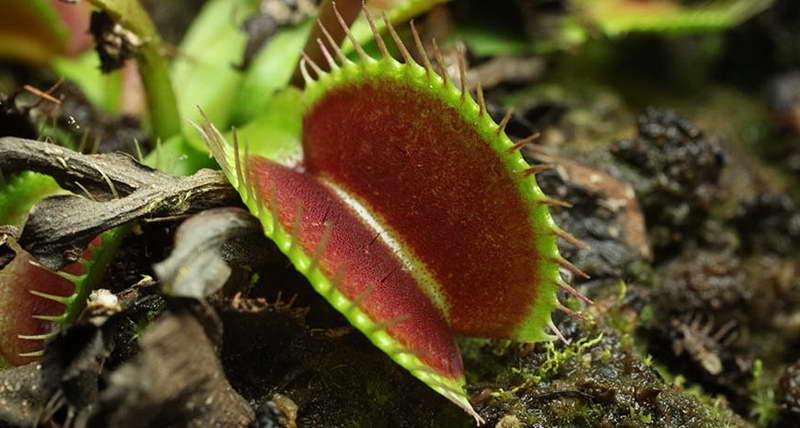 Дионея хищное растение фото