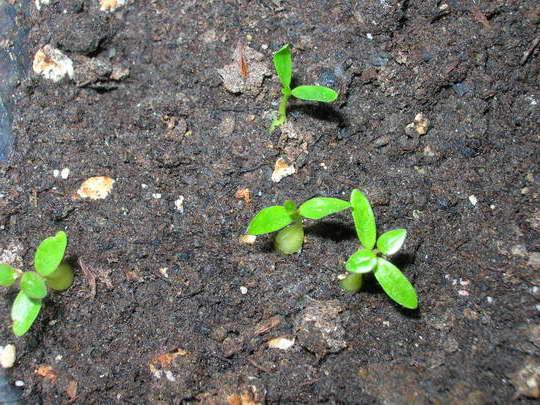Дипладения мандевилла из семян фото