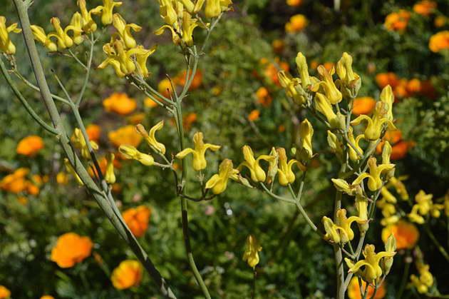 Дицентра золотистоцветковая Dicentra chrysantha фото