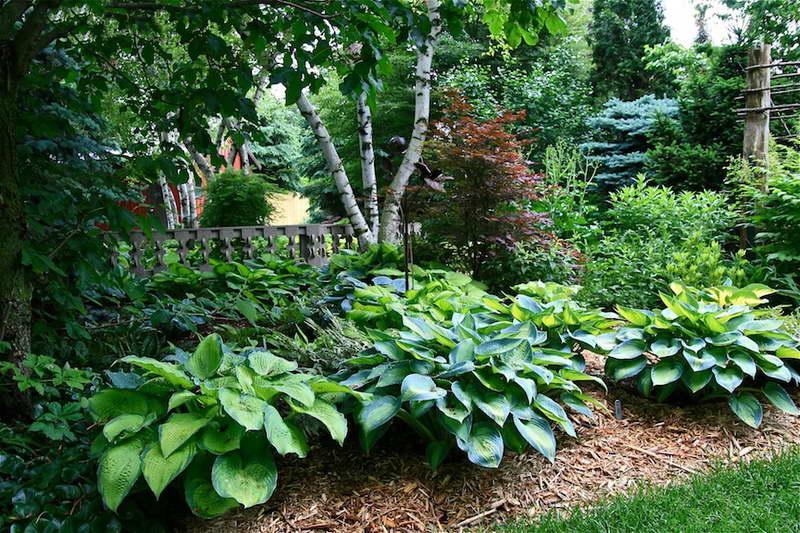 Дизайн сада хостами Хосты в саду фото композиции