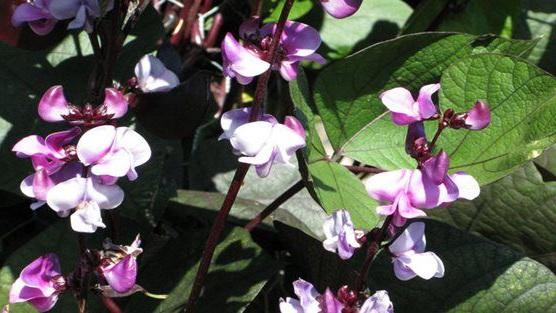 Долихос лаблаб пурпурный Lablab purpureus