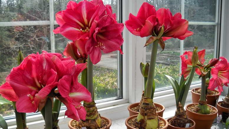 Домашние цветы амариллис Как вырастить цветущий амариллис Посадка размножение и уход