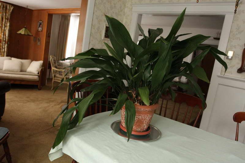 Домашние цветы аспидистра фото