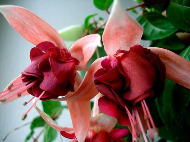 Домашний цветок фуксия Аrmbro Campbell выращивание и уход фото
