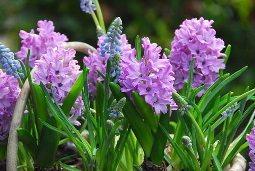 Домашний цветок гиацинт восточный Hyacinthus orientalis