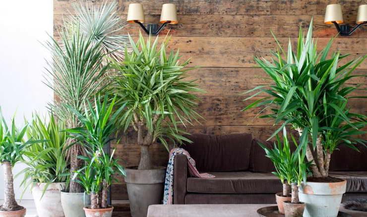 Домашняя пальма юкка как ухаживать