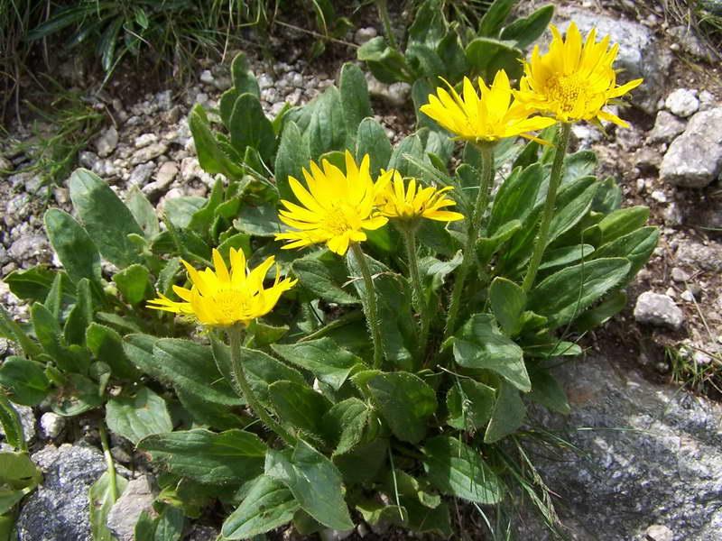 Дороникум Клюза Doronicum clusii фото в альпинарии