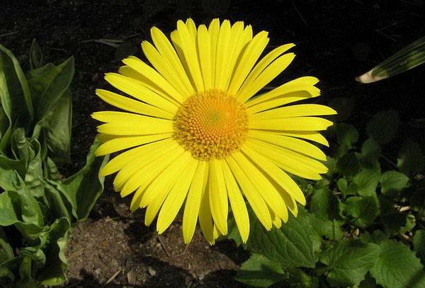 Дороникум подорожниковый Doronicum Plantagineum фото