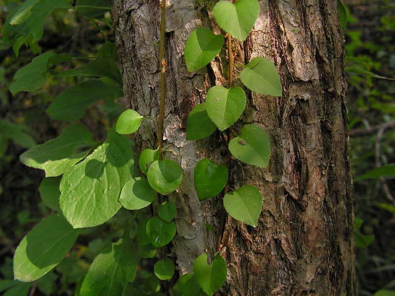 Древогубец круглолистный и лазящий Посадка и уход Выращивание из семян Размножение Фото