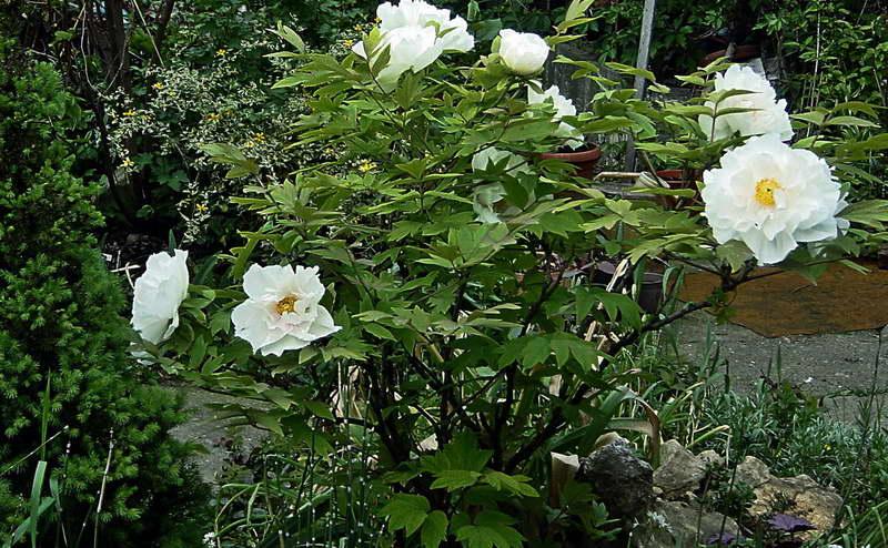 Древовидный пион уход и выращивание в Подмосковье фото в саду