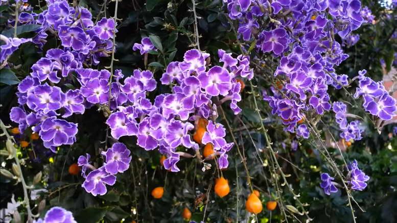 Дуранта уход в домашних условиях фото цветения