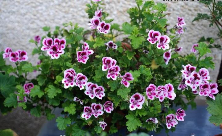 Душистые пеларгонии фото цветов