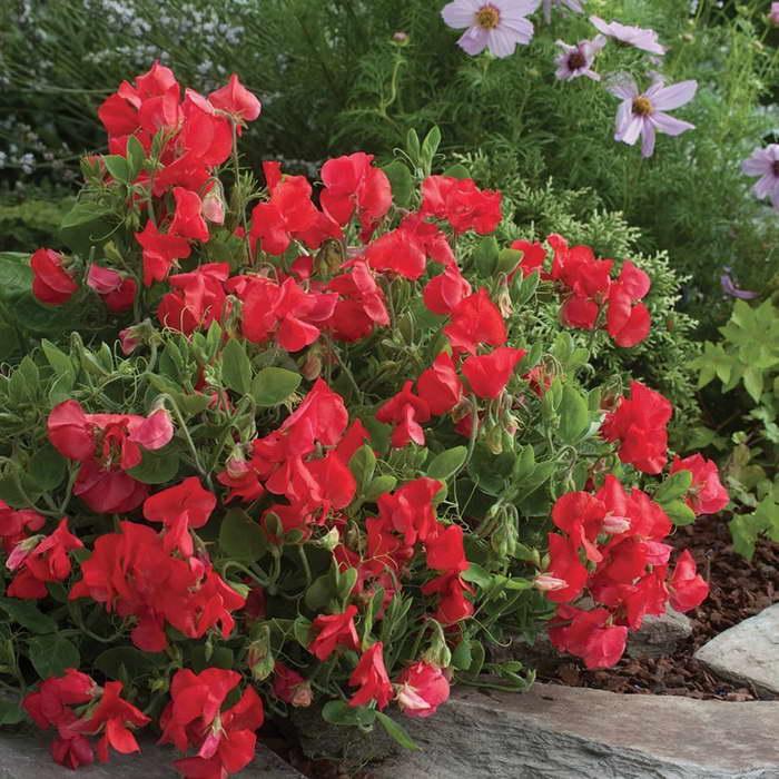 Душистый горошек в саду фото