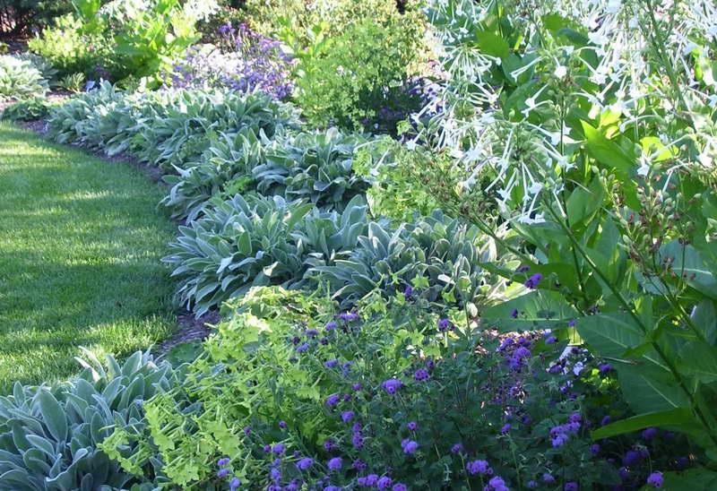 Душистый табак в саду фото