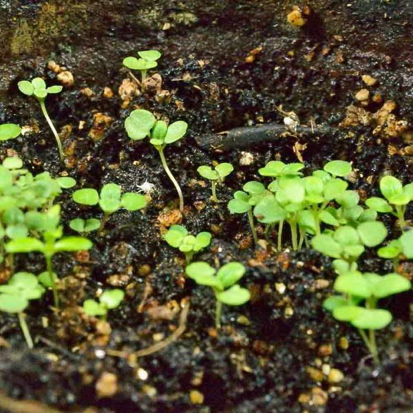 Агроном: Выращивание душицы обыкновенной: особенности посадки и ухода в 2019 году