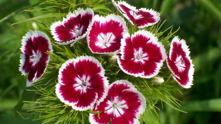 Двулетники растения для сада фото и названия