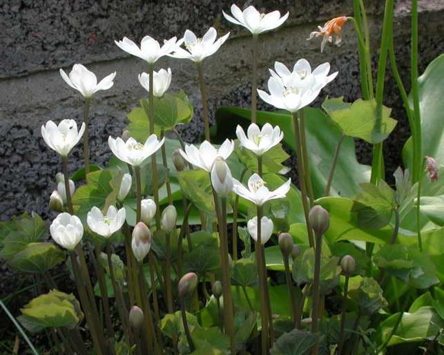 Джефферсония двулистная jeffersonia diphylla посадка и уход фото
