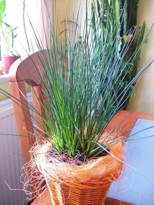 Джункус Пенсил грасс Juncus effusus 'Pencil Grass' фото