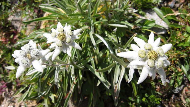 Эдельвейс альпийский фото Leontopodium alpinum Как выращивать в альпинарии