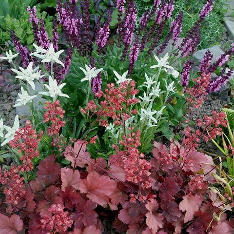 Эдельвейс на клумбе с другими цветами с чем посадить