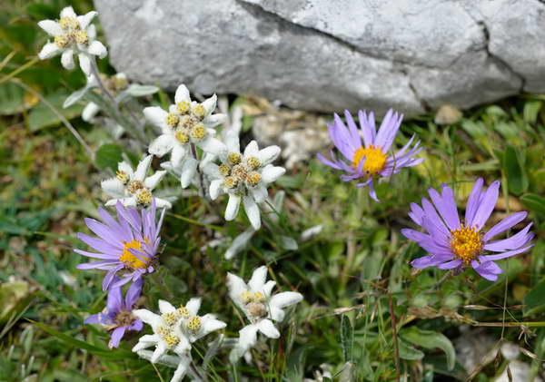 Эдельвейс описание цветка фото с альпийскими астрами