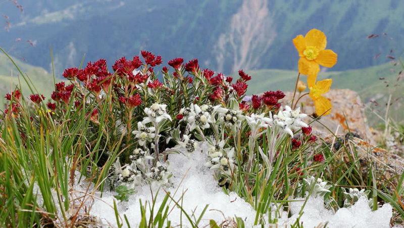 Эдельвейс с чем посадить Сочетание с другими цветами фото