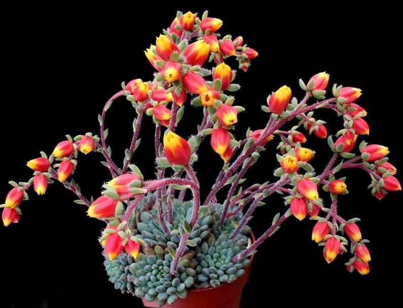 Эхеверия щетинистая Echeveria Septosa фото