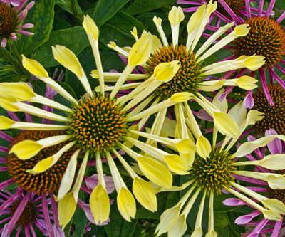 Эхинацея Пэшн флют Echinacea Passion Flute фото