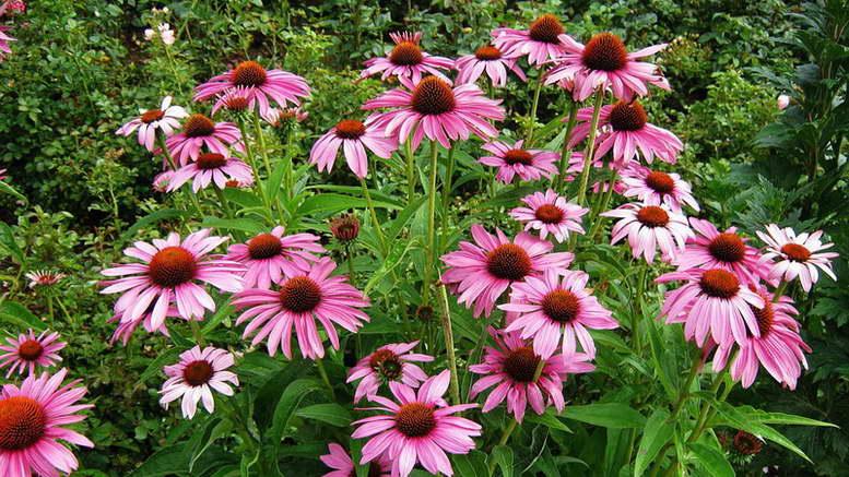 Эхинацея пурпурная выращивание из семян посадка и уход в открытом грунте Фото цветов
