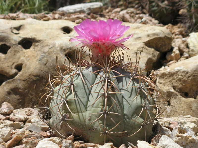 Эхинокактус горизотальный или красный Echinocactus horizonthalonius фото