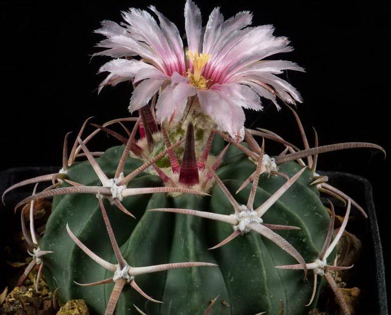 Эхинокактус техасский Echinocactus texensis фото