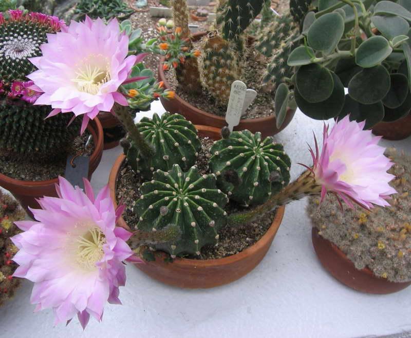 Эхинопсис Эрье Echinopsis eyriesii фото